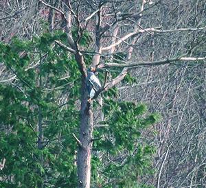 いつもの枯れ木にとまるオオワシ
